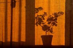 σκιά πρωινού από το λουλούδι στην κουρτίνα Στοκ φωτογραφία με δικαίωμα ελεύθερης χρήσης