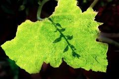 Σκιά του φύλλου Στοκ Φωτογραφία