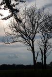 Σκιαγραφήστε ένα δέντρο χωρίς φύλλα Στοκ Εικόνες