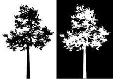 Σκιαγραφία δέντρων πεύκων Sumatran Στοκ εικόνα με δικαίωμα ελεύθερης χρήσης