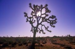 Σκιαγραφία δέντρων του Joshua, έρημος στην άνθιση, ασβέστιο Στοκ φωτογραφίες με δικαίωμα ελεύθερης χρήσης