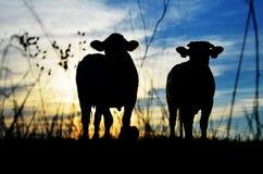 Σκιαγραφία αγελάδων Στοκ Φωτογραφίες