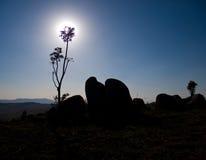σκιαγραφία βράχου φυτών Στοκ Εικόνες