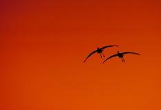 σκιαγραφία γερανών sandhill Στοκ εικόνα με δικαίωμα ελεύθερης χρήσης