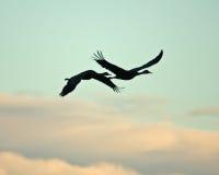 σκιαγραφία γερανών sandhill Στοκ Φωτογραφίες