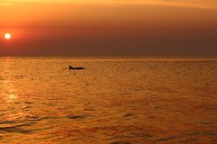 Σκιαγραφία δελφινιών στα κύματα θάλασσας νωρίς το πρωί ενάντια στην ανατολή και τον όμορφο πορφυρό ουρανό Θερινές διακοπές στο ba Στοκ Φωτογραφίες