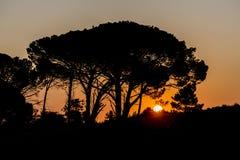 Σκιαγραφία ενός δέντρου με το ηλιοβασίλεμα Στοκ Εικόνα