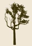 Σκιαγραφία ενός παλαιού αποβαλλόμενου δέντρου Στοκ φωτογραφία με δικαίωμα ελεύθερης χρήσης