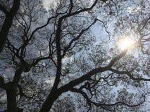 Σκιαγραφία κλάδων δέντρων βροχής ενάντια στα φω'τα ήλιων Στοκ φωτογραφίες με δικαίωμα ελεύθερης χρήσης