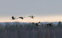Σκιαγραφία πέντε πετώντας πουλιών γερανών, δάσος στο υπόβαθρο Στοκ Εικόνες
