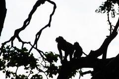 Σκιαγραφία πιθήκων στα δέντρα ζουγκλών στο δάσος πιθήκων σε Ubud, Μπαλί Στοκ εικόνες με δικαίωμα ελεύθερης χρήσης