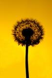 Σκιαγραφία πικραλίδων στοκ φωτογραφίες με δικαίωμα ελεύθερης χρήσης