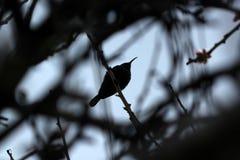 Σκιαγραφία πουλιών Στοκ Εικόνες