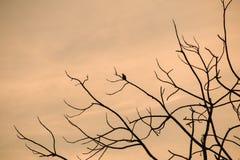 Σκιαγραφία της συνεδρίασης πουλιών στα brances του ξηρού δέντρου κατά τη διάρκεια Στοκ φωτογραφία με δικαίωμα ελεύθερης χρήσης