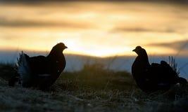 Σκιαγραφία του μαύρου αγριόγαλλου Lekking Στοκ φωτογραφίες με δικαίωμα ελεύθερης χρήσης