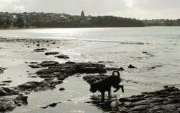 Σκιαγραφία του σκυλιού που τρέχει στην παραλία Στοκ φωτογραφία με δικαίωμα ελεύθερης χρήσης