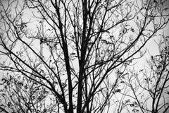 Σκιαγραφία του nude δέντρου κερασιών στη χειμερινή εποχή Στοκ Εικόνες