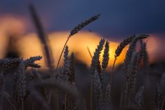 Σκιαγραφία των αυτιών σίτου στο φως ηλιοβασιλέματος βραδιού Φυσικό φως αναμμένο πίσω Ο όμορφος ήλιος καίγεται bokeh Στοκ εικόνα με δικαίωμα ελεύθερης χρήσης