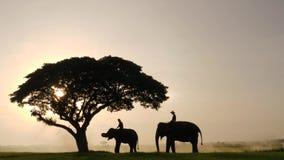 Σκιαγραφία των ελεφάντων και mahouts το πρωί ένα φυσικό τοπίο μέσης απόθεμα βίντεο