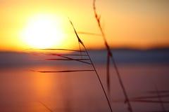 Σκιαγραφία των καλάμων στο ηλιοβασίλεμα Στοκ Εικόνα