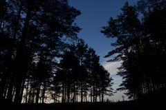 Σκιαγραφία των πεύκων στο μπλε ουρανό στοκ φωτογραφία
