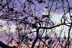Σκιαγραφία των nude κλάδων δέντρων στο ζωηρόχρωμο ρόδινο ιώδη ουρανό ηλιοβασιλέματος Στοκ Φωτογραφία