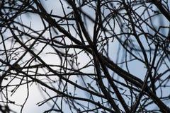 Σκιαγραφία των nude κλάδων δέντρων στο μπλε ουρανό με τα σύννεφα Στοκ Εικόνες