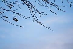 Σκιαγραφία των nude κλάδων δέντρων στο μπλε ουρανό με τα σύννεφα Στοκ Εικόνα
