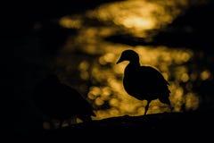 Σκιαγραφία χήνων ενάντια στο σεληνόφωτο που απεικονίζεται στο νερό Στοκ φωτογραφία με δικαίωμα ελεύθερης χρήσης