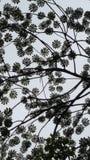 Σκιαγραφία Χαβάη φύλλων θόλων Στοκ εικόνες με δικαίωμα ελεύθερης χρήσης
