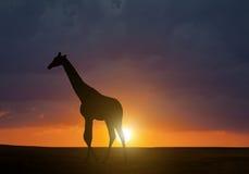 Σκιαγραφία giraffe Στοκ Εικόνες