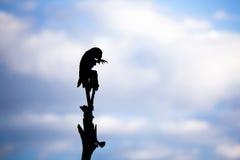 Σκιαγραφία Macaw, που καλλωπίζει, στο δέντρο ενάντια στο μπλε ουρανό με τα σύννεφα Στοκ εικόνες με δικαίωμα ελεύθερης χρήσης