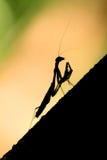 Σκιαγραφία Mantis Στοκ Φωτογραφίες