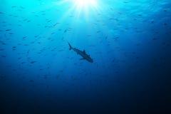 Σκιαγραφία smalls κυνηγιού καρχαριών των ψαριών Στοκ φωτογραφίες με δικαίωμα ελεύθερης χρήσης