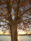 Σκιαγραφία sycamore του δέντρου ενάντια στη ρύθμιση του ήλιου Στοκ φωτογραφία με δικαίωμα ελεύθερης χρήσης