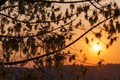 Σκιαγραφίες ηλιοβασιλέματος του συνόλου κλάδων δέντρων τέφρας άνθισης των λουλουδιών Στοκ Φωτογραφία
