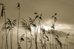 σκιαγραφίες καλάμων φυτώ& Στοκ Φωτογραφία