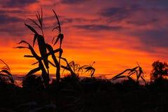 Σκιαγραφίες του καλαμποκιού στο υπόβαθρο ενός όμορφου ουρανού ηλιοβασιλέματος στοκ εικόνες