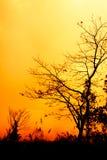 Σκιαγραφίες του ξηρού δέντρου ενάντια στο χρυσό ουρανό Στοκ εικόνες με δικαίωμα ελεύθερης χρήσης