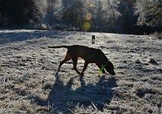 Σκιαγραφίες του περπατήματος των σκυλιών Στοκ Φωτογραφία