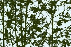 Σκιαγραφίες των δέντρων τέφρας βουνών Στοκ Εικόνες