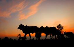 Σκιαγραφίες των αγελάδων στο ηλιοβασίλεμα Στοκ Εικόνες
