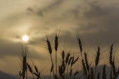 Σκιαγραφίες των αυτιών σίτου στη θύελλα σκόνης Στοκ Εικόνες