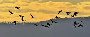 Σκιαγραφίες των γερανών κατά την πτήση Στοκ Εικόνες