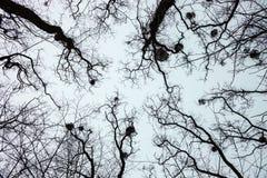 Σκιαγραφίες των γυμνών δέντρων με τα γκι Στοκ φωτογραφίες με δικαίωμα ελεύθερης χρήσης