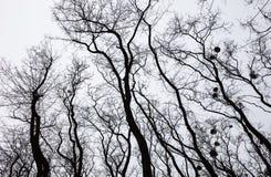 Σκιαγραφίες των γυμνών δέντρων με τα γκι Στοκ εικόνες με δικαίωμα ελεύθερης χρήσης