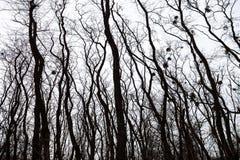 Σκιαγραφίες των γυμνών δέντρων με τα γκι Στοκ εικόνα με δικαίωμα ελεύθερης χρήσης