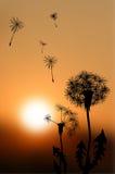 Σκιαγραφίες των εξασθενίζοντας πικραλίδων στο ηλιοβασίλεμα Στοκ Εικόνες