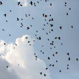 Σκιαγραφίες των κοράκων στον ουρανό Στοκ Εικόνες