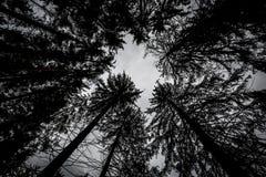 Σκιαγραφίες των μαύρων κορωνών των ψηλών δέντρων που κλίνουν ενάντια στον ουρανό Στοκ Φωτογραφία